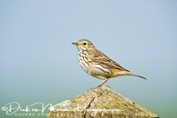 graspieper_meadow_pipit_anthus_pratensis_20141220_1051750890