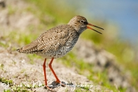 tureluur_common_redshank_tringa_totanus_20141220_1181260926
