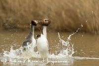 fuut_great_crested_grebe_podiceps_cristatus_2_20141220_1844482737