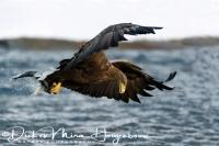 zeearend_white-tailed_eagle_haliaeetus_albicilla_7_20141219_1464581673
