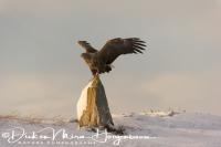 zeearend_white-tailed_eagle_haliaeetus_albicilla_43a_20141219_1156049694