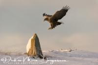 zeearend_white-tailed_eagle_haliaeetus_albicilla_43_20141219_2073106469