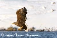 zeearend_white-tailed_eagle_haliaeetus_albicilla_9_20141219_1360183691
