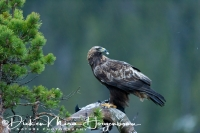 steenarend_golden_eagle_aquila_chryssaetos_2_20141219_1550432404