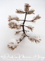 jonge_den_in_de_sneeuw_young_pine_in_the_snow_20141219_1004995740