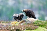 steenarend_golden_eagle_aquila_chryssaetos_5_20141219_1942954846