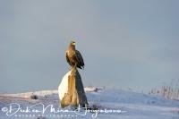 zeearend_white-tailed_eagle_haliaeetus_albicilla_44_20141219_1676676225