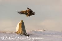 zeearend_white-tailed_eagle_haliaeetus_albicilla_41_20141219_1990485568