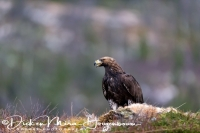 steenarend_golden_eagle_aquila_chryssaetos_10_20141219_1832167036
