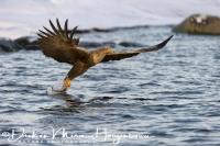 zeearend_white-tailed_eagle_haliaeetus_albicilla_5_20141219_1852301012