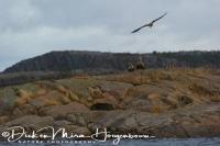 zeearend_white-tailed_eagle_haliaeetus_albicilla_2_20141219_1495297076