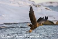 zeearend_white-tailed_eagle_haliaeetus_albicilla_6_20141219_1680354352