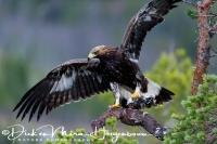 steenarend_golden_eagle_aquila_chryssaetos_14_20141219_1533610417
