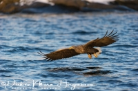zeearend_white-tailed_eagle_haliaeetus_albicilla_20141219_1683947329