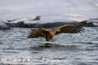 zeearend_white-tailed_eagle_haliaeetus_albicilla_4_20141219_1210541067