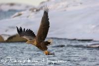 zeearend_white-tailed_eagle_haliaeetus_albicilla_14_20141219_2097211928