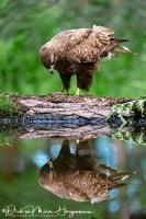 Buizerd spiegelbeeld