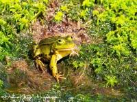 Groene kikker met juffer