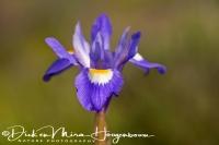 wilde_iris_irish_iridaceae_20141219_1640749186