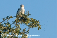 grijze_wouw_black-shouldered_kite_elanus_caeruleus_20141219_1068653283