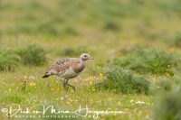 grote_trap_great_bustard_otis_tarda_1_20141219_2005889149
