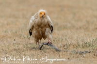 aasgier_egyptian_vulture_neophron_percnopterus_1_20141219_1631236215
