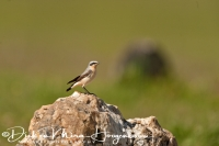 tapuit_northern_wheatear_oenanthe_oenanthe_20141219_1405472451