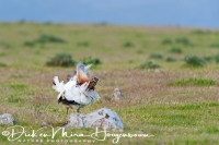 grote_trap_great_bustard_otis_tarda_3_20141219_2013386383