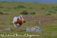 grote_trap_great_bustard_otis_tarda_11_20141219_1942531231
