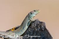 parelhagedis_ocellated_lizard_timon_lepidus_20141219_1793061615