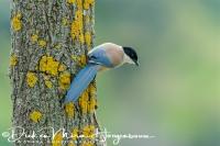 blauwe_ekster_azure-winged_magpie_cyanopica_cyana_1_20141219_1799437936
