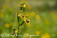 gele_orchis_yellow_bee-orchid_ophrys_lutea_20141219_1254787970