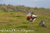 grote_trap_great_bustard_otis_tarda_4_20141219_1205903947