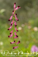 gewone_duivenkervel_common_fumitory_fumaria_officinalis_20141219_1747233889