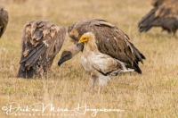 aasgier_egyptian_vulture_neophron_percnopterus_2_20141219_1449852321