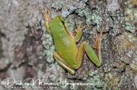 boomkikker_common_treefrog_hyla_arborea_1_20141219_1960597711