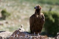 monniksgier_monk_vulture_aegypius_monachus_2_20141219_1531178743
