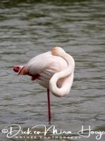 flamingo_greater_flamingo_phoenicopterus_ruber_5_20141219_1062202596