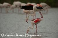 flamingo_greater_flamingo_phoenicopterus_ruber_1_20141219_1686827164