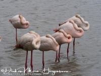 flamingo_greater_flamingo_phoenicopterus_ruber_20141219_1214578836