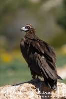 monniksgier_monk_vulture_aegypius_monachus_20141219_1465149952