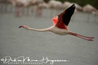 flamingo_greater_flamingo_phoenicopterus_ruber_3_20141219_1400050261