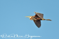 purperreiger_-_purple_heron_-_ardea_purpurea_20150112_1351954906