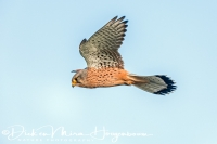 torenvalk_-_common_kestrel_-_falco_tinnunculus_20150112_2004278371