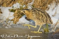 roerdomp_-_great_bittern_-_botaurus_stellaris_20150112_1899721679