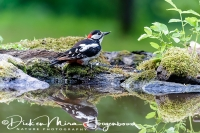 grote_bonte_specht_-_great_spotted_woodpecker_-_dendrocopos_major_20150112_1303179618