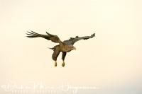 zeearend_-_white-tailed_eagle_-_haliaeetus_albicilla__20150112_1457392048