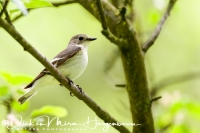 withalsvliegenvanger_-_collared_flycatcher_-_fidecula_albicollis_female_20150112_1300621453