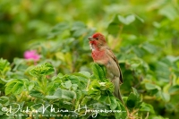 roodmus_-_common_rosefinch_-_carpodacus_erythrinus_20150112_1798167655