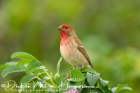 roodmus_-_common_rosefinch_-_carpodacus_erythrinus__20150112_1932377489